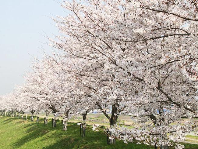 美嚢川の桜堤