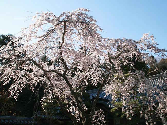 伽耶院のしだれ桜