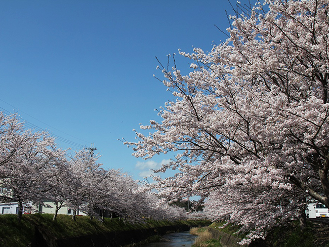 北谷川の桜堤